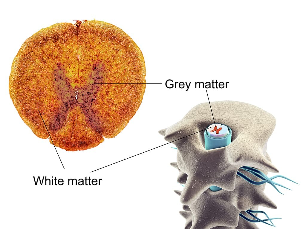 Grey matter and white matter in the spinal cord